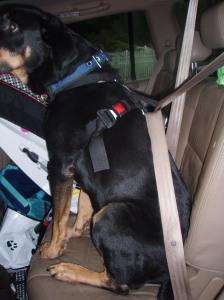 Seat belt through harness loop